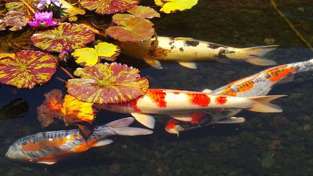 Berbagai Jenis Penyakit Ikan Koi dan Cara Mengobatinya